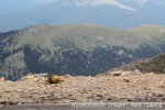Marmot on the edge of the world at MountEvans