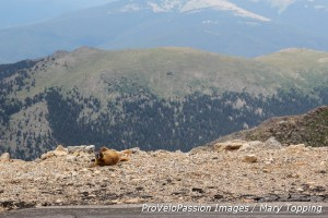 Marmot on the edge of the world at Mount Evans