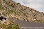 Yearling bighorn sheep on Mt. Evans