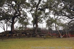 Live oaks near the longer limestone steps on 'cross nationals course